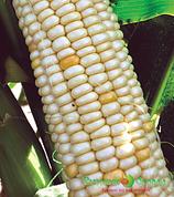 Кукуруза суперсахарная МЕДОВЫЙ НЕКТАР F1