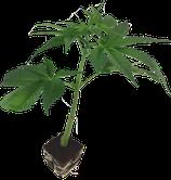 Black Raspberry _ Bodhi Seeds / Hanfstecklinge