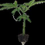 AK 47  von Seroius Seeds / Hanfstecklinge