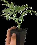 Nebula - Paradise Seeds / Stecklinge