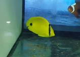 Chaetodon plebeius, Azurfleck-Falterfisch