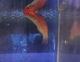 Cirrhilabrus bathyphilus, Tiefsee Zwerglippfisch
