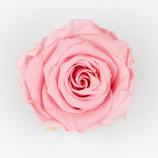Rose Lightpink