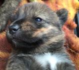 甲斐犬 赤虎毛 女の子 2017年4月18日生まれ
