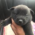 甲斐犬 黒虎毛 女の子 2017年4月15日生まれ