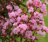 Lagerstroemia : Lilas des indes