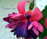 Фуксия Rocket Fire