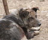 Le chien de berger d'Auvergne
