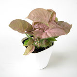 大分市観葉植物いちはな シンゴジウムネオン