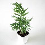 大分市観葉植物いちはな テーブルヤシ