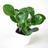 大分市観葉植物いちはな ペペロミアオブツシフォリア