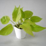 大分市観葉植物いちはな ポトスライム