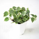 大分市観葉植物いちはな ペペロミアセルペンス