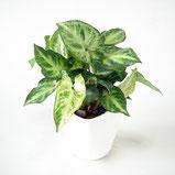 大分市観葉植物いちはな シンゴジウムホワイト