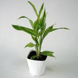 大分市観葉植物いちはな サンデリアーナ緑