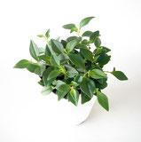 大分市観葉植物いちはな ペペロミアグラベラ
