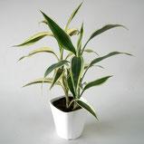 大分市観葉植物いちはな サンデリアーナ