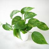 大分市観葉植物いちはな ポトスグリーン