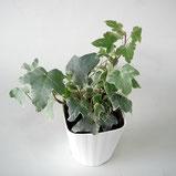 大分市観葉植物 いちはな アイビーヘデラ