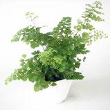 大分市観葉植物いちはな アジアンタム