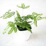 大分市観葉植物いちはな プテリスアルボリネアタ