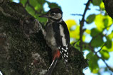 Woodpecker | Austria