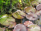 Ringelnatter auf Seerosenblatt