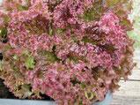 Lollo rossa: Roter Pflücksalat mit gekrausten Blättern. Foto Kirnstötter