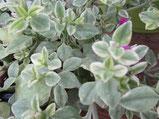 Eiskraut:Mit grün/weißen Blättern und pinker Blüte, Foto Kirnstötter