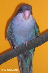 Amoropsitta aymara (Aymarasittich) türkis