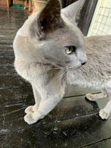 ビルマ猫さま。