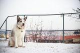Un chien gris et blanc en haut d'un escalier assis dans la neige par coach canin 16 educateur canin en charente