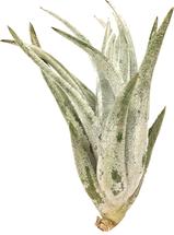 Mitlaensis