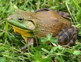 Grenouille taureau (bullfrog)