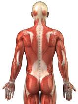 Faszienstrukturen im Körper