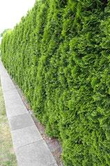 Immergrüne Hecke Lebensbaum Smaragd
