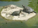 Schildkröten im Westpark    -             Foto Heidrun Langer