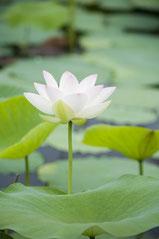 一蓮托生・一人が一枚の花びらとなり、一つの蓮を形成する。