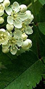 flor del serbal silvestre