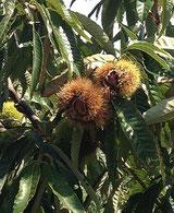 9月末、巾着田の曼珠沙華を見に行ってきました。そこへ行く途中に見かけた栗の木です。