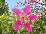 Palo borracho  (Chorisia speciosa )