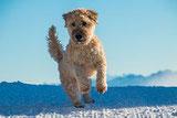 Le chien de race de compagnie