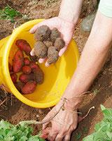 Erntezeit der Speisekartoffeln vom Kartoffelhof Härtl