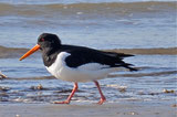Oystercatcher | Northsea