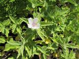 Eibisch mit zartrosa Blüte, Foto Kirnstötter