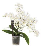 Eine Wildorchidee, eine ganz besondere Sorte