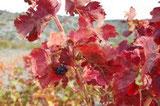 couleurs d'automne dans le vignoble des Corbières