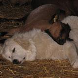 Patou et chèvre endormis. A Rouze.