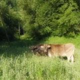 Vaches de Rouze