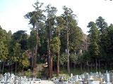 樹齢数百年の大杉